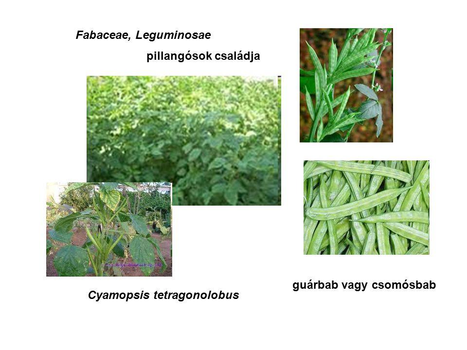 Fabaceae, Leguminosae Cyamopsis tetragonolobus guárbab vagy csomósbab pillangósok családja