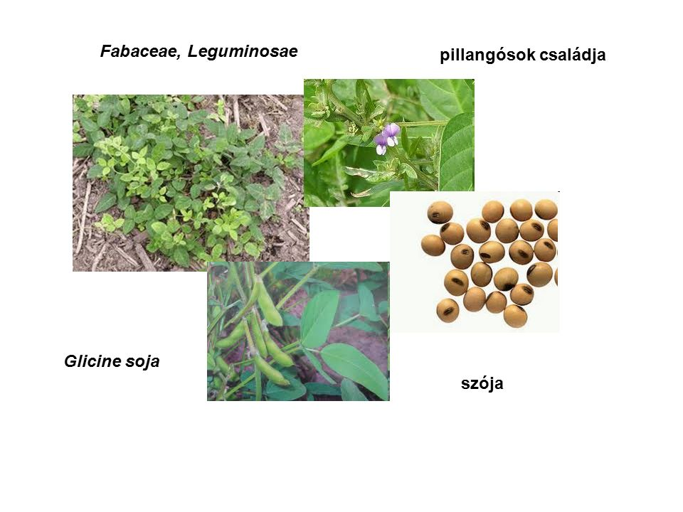 Fabaceae, Leguminosae Glicine soja szója pillangósok családja