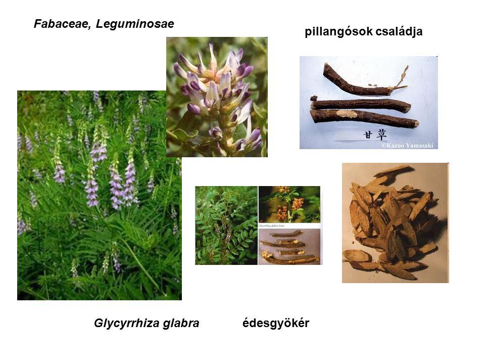 Glycyrrhiza glabraédesgyökér Fabaceae, Leguminosae pillangósok családja