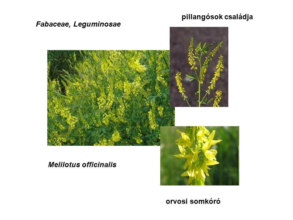 Fabaceae, Leguminosae Melilotus officinalis orvosi somkóró pillangósok családja