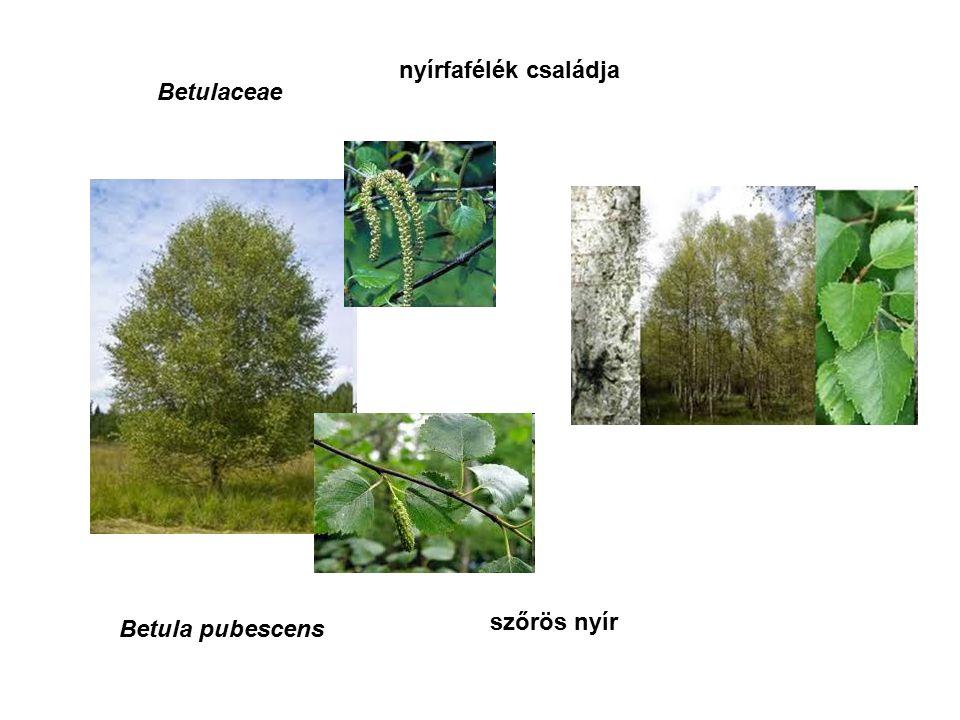 Ephedraceae csikófarkfélék családja Ephedra sinica sötét csikófark
