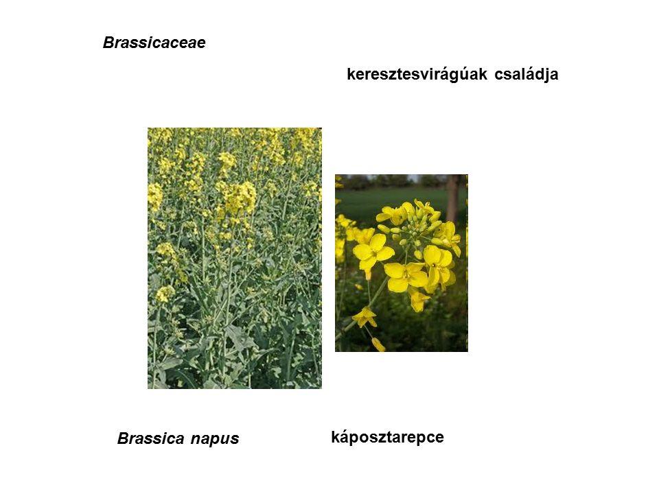 Brassicaceae keresztesvirágúak családja Brassica napus káposztarepce