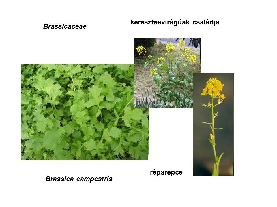 Fabaceae, Leguminosae Myroxylon balsamum perubalzsam pillangósok családja