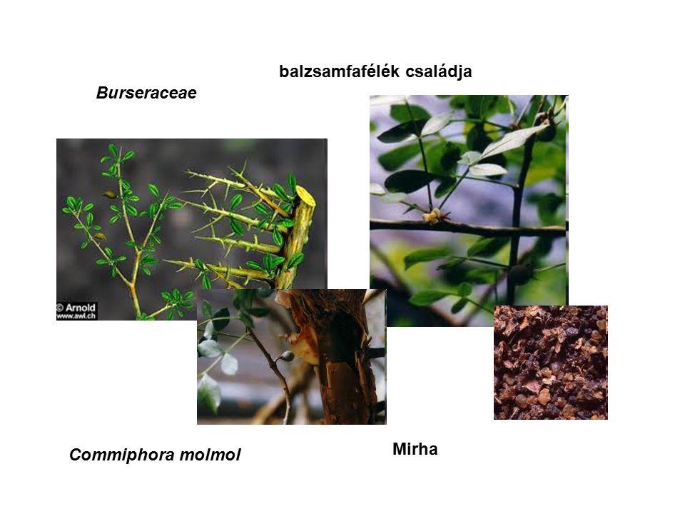 Burseraceae balzsamfafélék családja Commiphora molmol Mirha