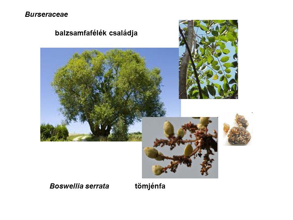 Boswellia serrata Burseraceae tömjénfa balzsamfafélék családja