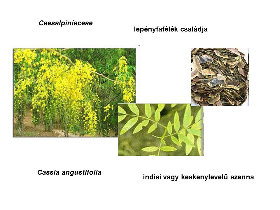 Caesalpiniaceae lepényfafélék családja Cassia angustifolia indiai vagy keskenylevelű szenna