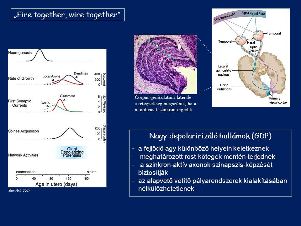 "Corpus geniculatum laterale a rétegzettség megszűnik, ha a n. opticus-t szinkron ingerlik ""Fire together, wire together"" Ben-Ari, 2007 Nagy depolariri"