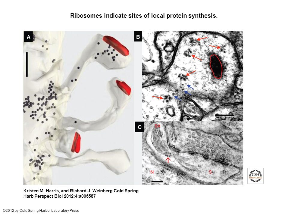 Ribosomes indicate sites of local protein synthesis.
