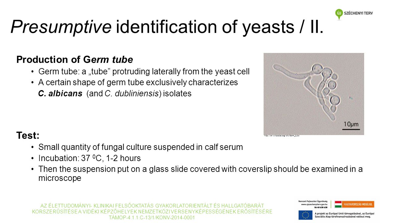 "Production of Germ tube Germ tube: a ""tube"" protruding laterally from the yeast cell A certain shape of germ tube exclusively characterizes C. albican"