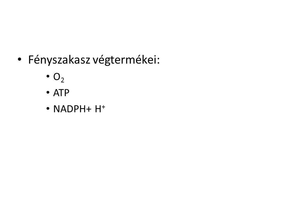 Fényszakasz végtermékei: O 2 ATP NADPH+ H +