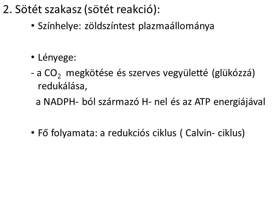 2. Sötét szakasz (sötét reakció): Színhelye: zöldszíntest plazmaállománya Lényege: - a CO 2 megkötése és szerves vegyületté (glükózzá) redukálása, a N