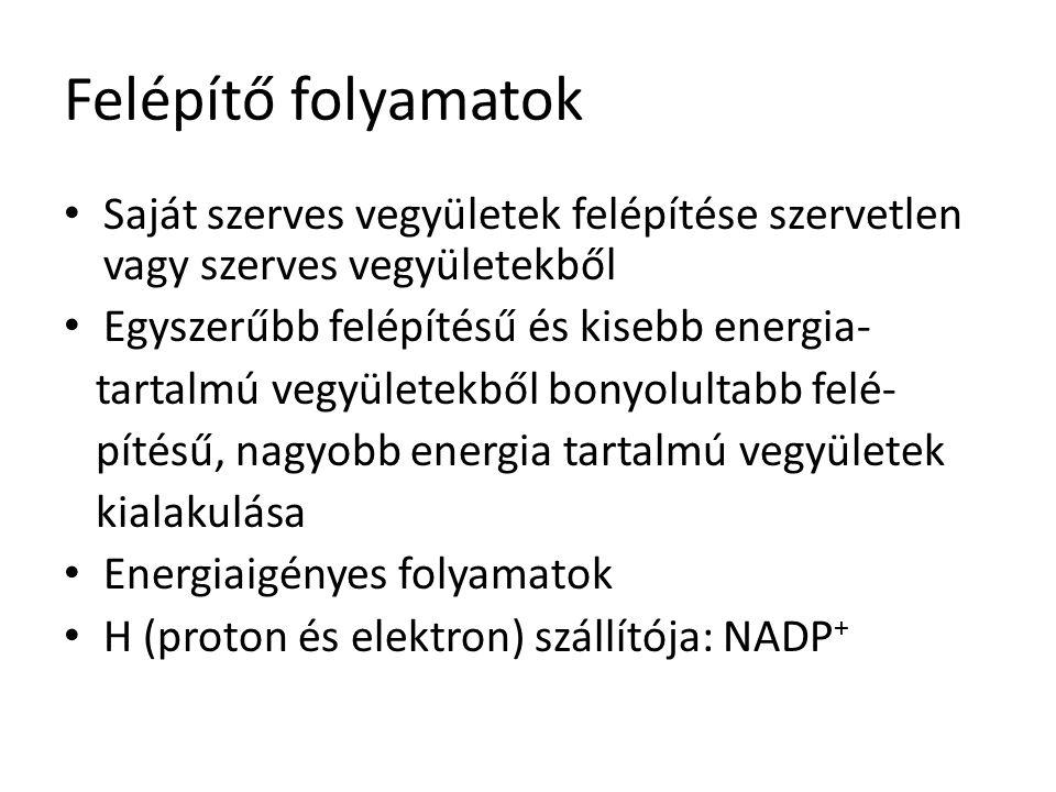 Felépítő folyamatok fajtái szénforrás energiaforrás Szervetlen vegyület ( CO 2 ) AUTOTRÓF Szerves vegyület HETEROTRÓF Fényenergia FOTOTRÓF Fotoautotróf (fotoszintézis) _ Kémiai energia KEMOTRÓF Kemoautotróf (kemoszintézis) Kemoheterotróf