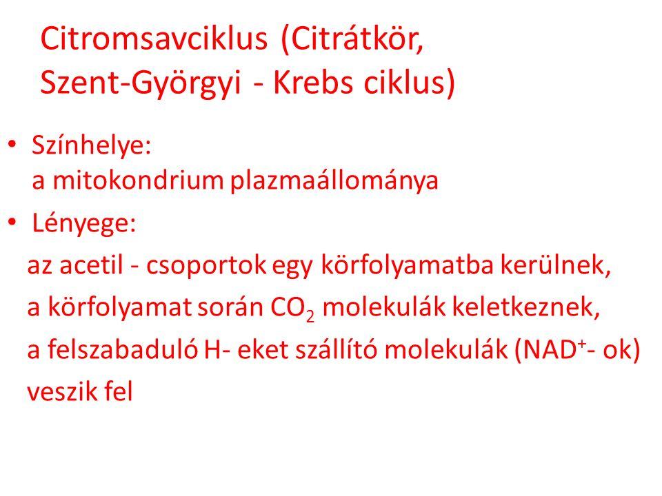 Citromsavciklus (Citrátkör, Szent-Györgyi - Krebs ciklus) Színhelye: a mitokondrium plazmaállománya Lényege: az acetil - csoportok egy körfolyamatba k
