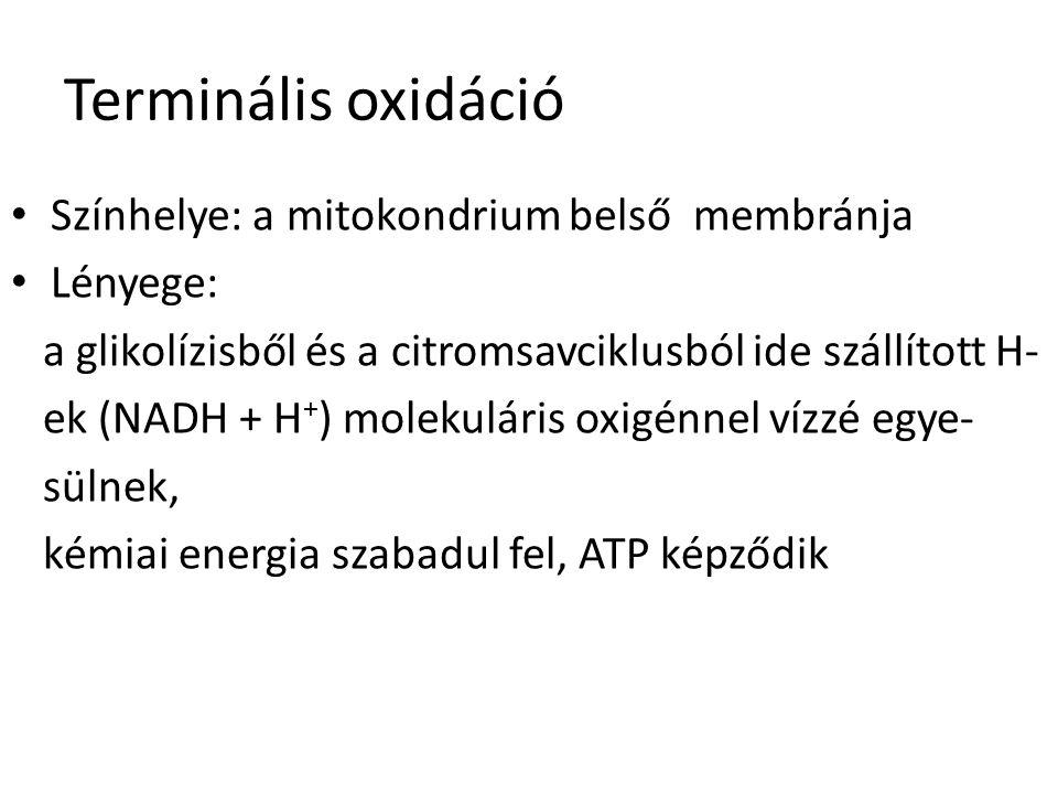 Terminális oxidáció Színhelye: a mitokondrium belső membránja Lényege: a glikolízisből és a citromsavciklusból ide szállított H- ek (NADH + H + ) mole