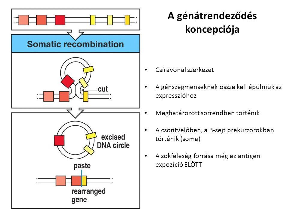 A génátrendeződés koncepciója Csíravonal szerkezet A génszegmenseknek össze kell épülniük az expresszióhoz Meghatározott sorrendben történik A csontvelőben, a B-sejt prekurzorokban történik (soma) A sokféleség forrása még az antigén expozíció ELŐTT