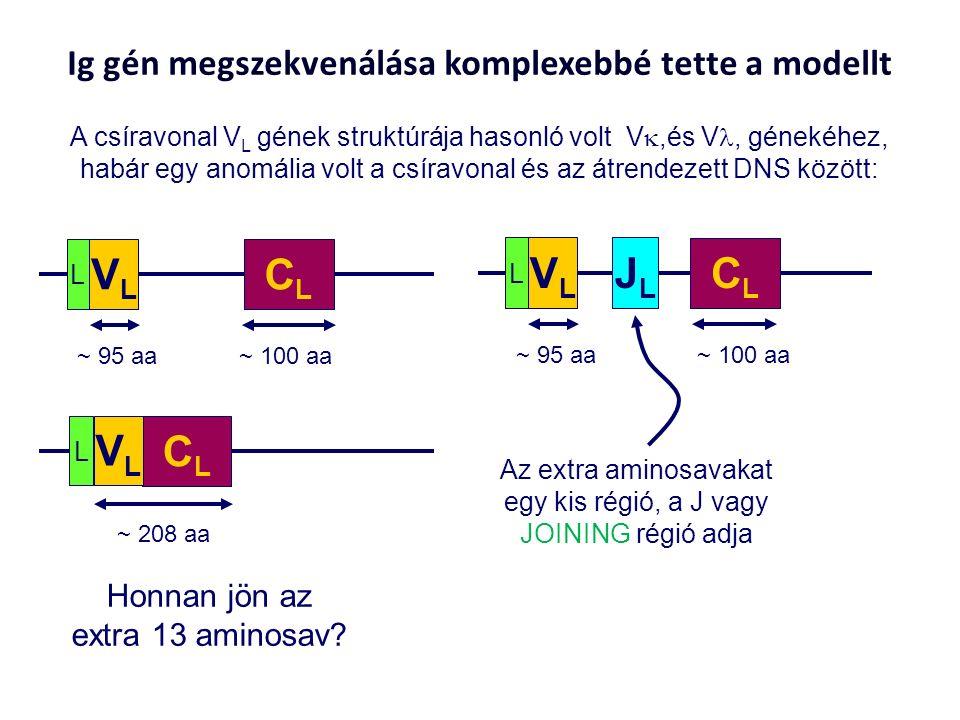 Ig gén megszekvenálása komplexebbé tette a modellt A csíravonal V L gének struktúrája hasonló volt V ,és V, génekéhez, habár egy anomália volt a csíravonal és az átrendezett DNS között: Honnan jön az extra 13 aminosav.
