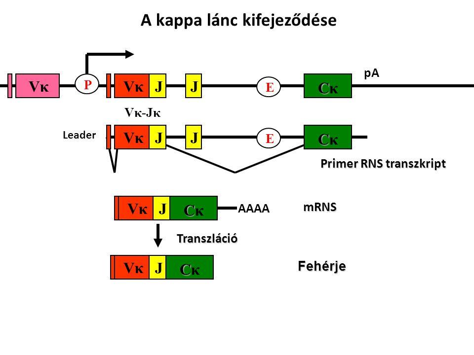 pA CCκCCκ E JJ Vκ-JκVκ-Jκ VκVκVκVκ P CCκCCκ JVκVκFehérje mRNS CCκCCκ JVκVκ AAAA Transzláció A kappa lánc kifejeződése Primer RNS transzkript CCκCCκ E JJVκVκ Leader