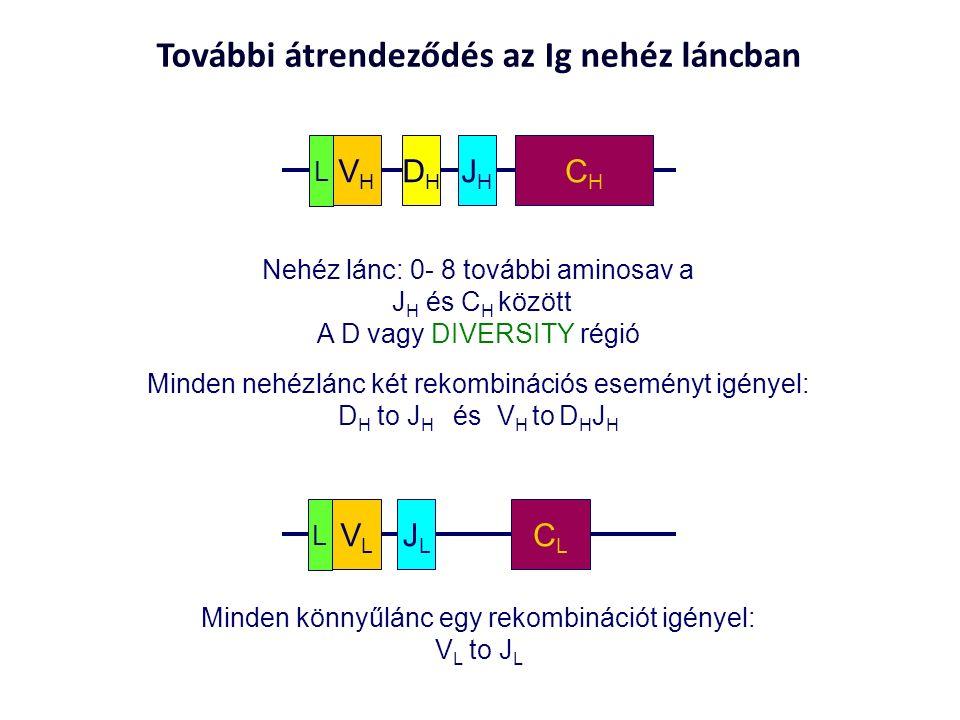 További átrendeződés az Ig nehéz láncban VLVL JLJL CLCL L CHCH VHVH JHJH DHDH L Nehéz lánc: 0- 8 további aminosav a J H és C H között A D vagy DIVERSITY régió Minden könnyűlánc egy rekombinációt igényel: V L to J L Minden nehézlánc két rekombinációs eseményt igényel: D H to J H és V H to D H J H