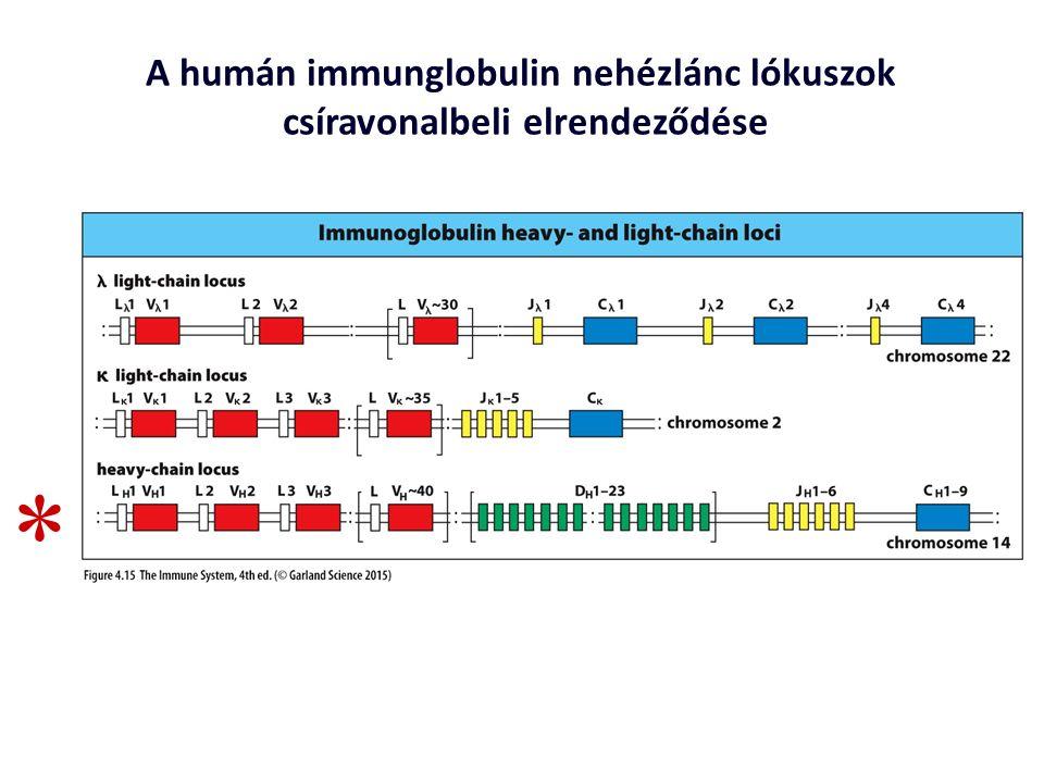 A humán immunglobulin nehézlánc lókuszok csíravonalbeli elrendeződése *