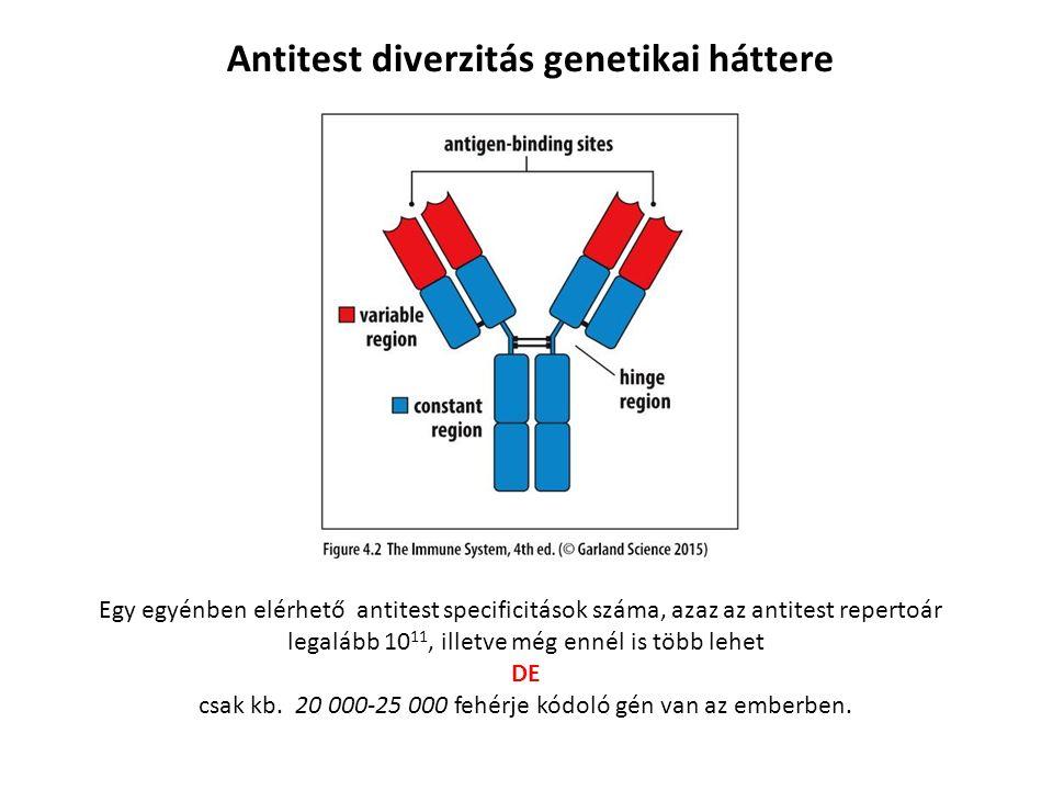Egy egyénben elérhető antitest specificitások száma, azaz az antitest repertoár legalább 10 11, illetve még ennél is több lehet DE csak kb.