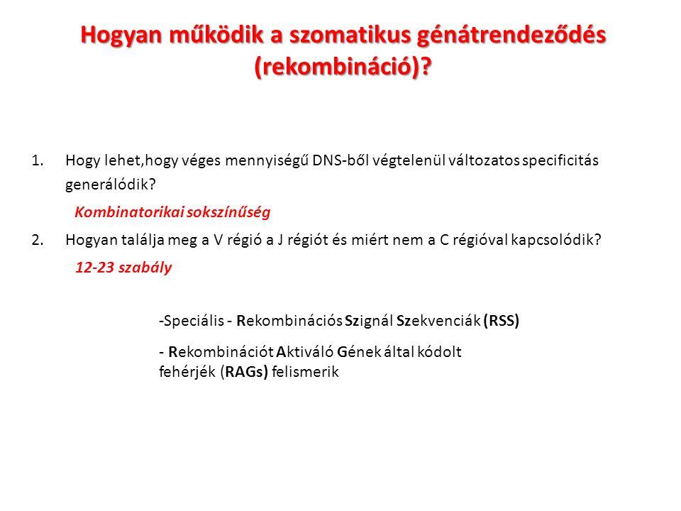 Hogyan működik a szomatikus génátrendeződés (rekombináció).