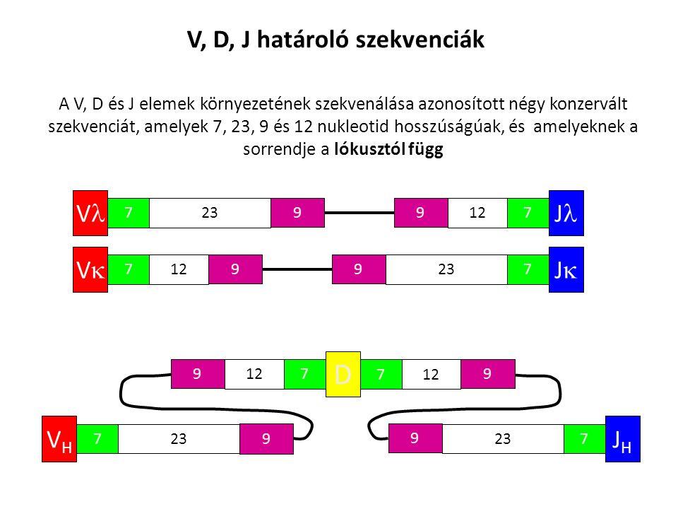 V, D, J határoló szekvenciák V 723 9 A V, D és J elemek környezetének szekvenálása azonosított négy konzervált szekvenciát, amelyek 7, 23, 9 és 12 nukleotid hosszúságúak, és amelyeknek a sorrendje a lókusztól függ VV 712 9 JJ 723 9 J 712 9 D 7 9 7 9 VHVH 723 9 JHJH 7 9