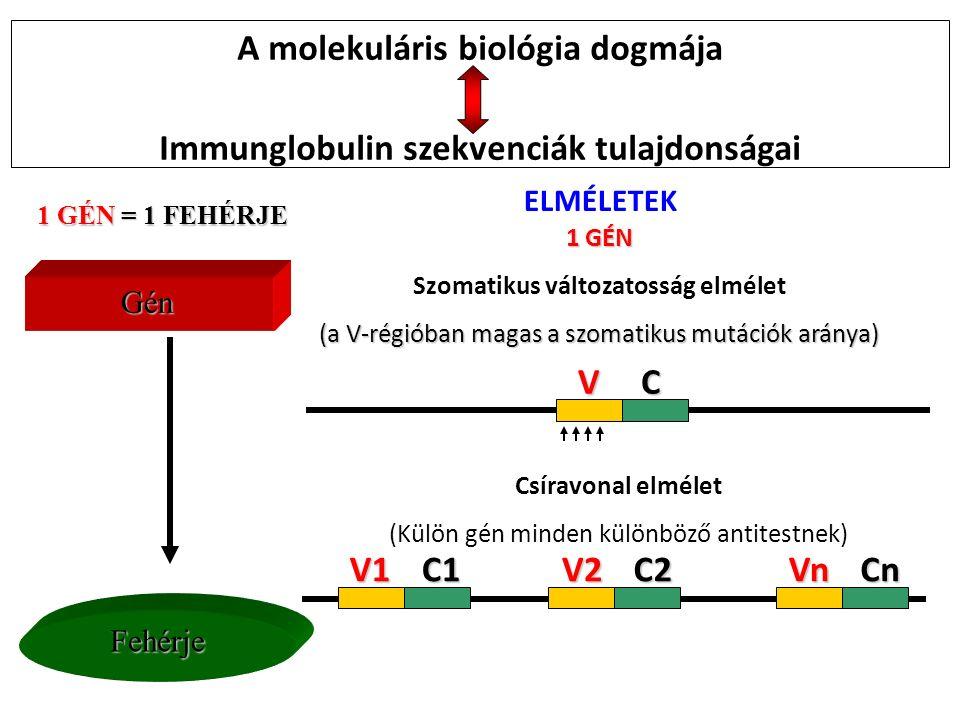 Csíravonal elmélet (Külön gén minden különböző antitestnek) V2V2V2V2 C2C2C2C2 VnVnVnVn CnCnCnCn V1V1V1V1 C1C1C1C1 1 GÉN Szomatikus változatosság elmélet (a V-régióban magas a szomatikus mutációk aránya) VC GénGénGénGén Fehérje 1 GÉN = 1 FEHÉRJE A molekuláris biológia dogmája Immunglobulin szekvenciák tulajdonságai ELMÉLETEK
