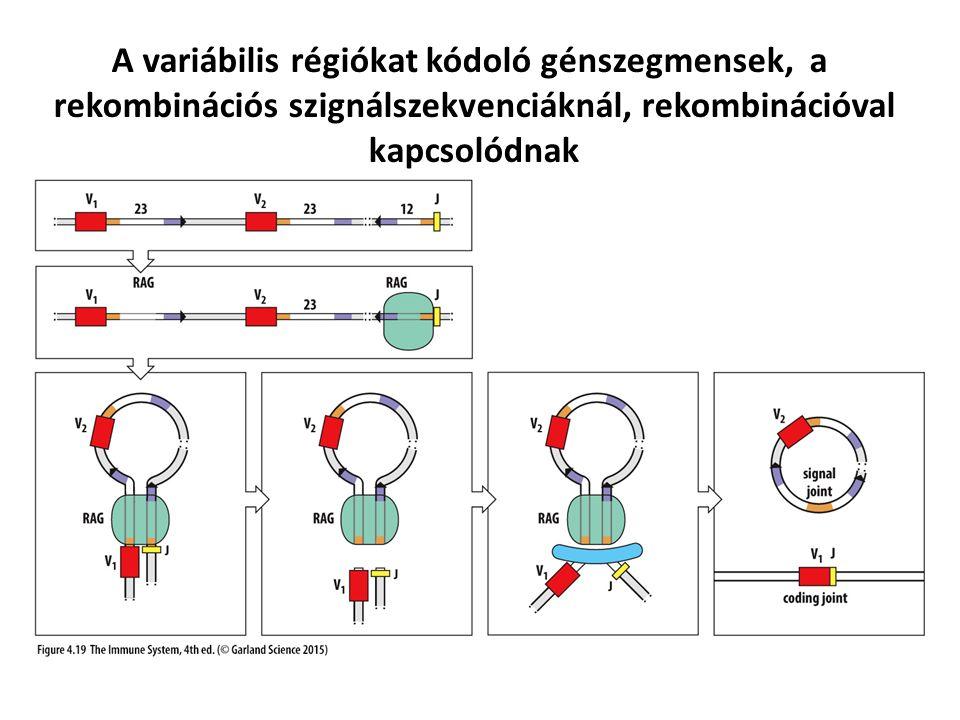 A variábilis régiókat kódoló génszegmensek, a rekombinációs szignálszekvenciáknál, rekombinációval kapcsolódnak