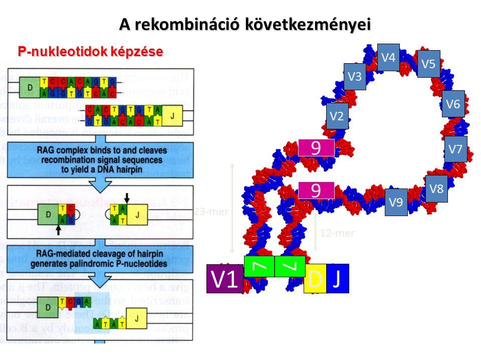 23-mer 12-mer V1 DJ V2 V3 V4 V8 V7 V6 V5 V9 7 9 9 7 A rekombináció következményei P-nukleotidok képzése P-nukleotidok képzése