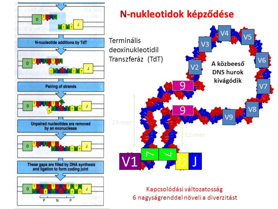 23-mer 12-mer A közbeeső DNS hurok kivágódik V1 DJ V2 V3 V4 V8 V7 V6 V5 V9 7 9 9 7 Terminális deoxinukleotidil Transzferáz (TdT) -nukleotidok képződése N-nukleotidok képződése Kapcsolódási változatosság 6 nagyságrenddel növeli a diverzitást