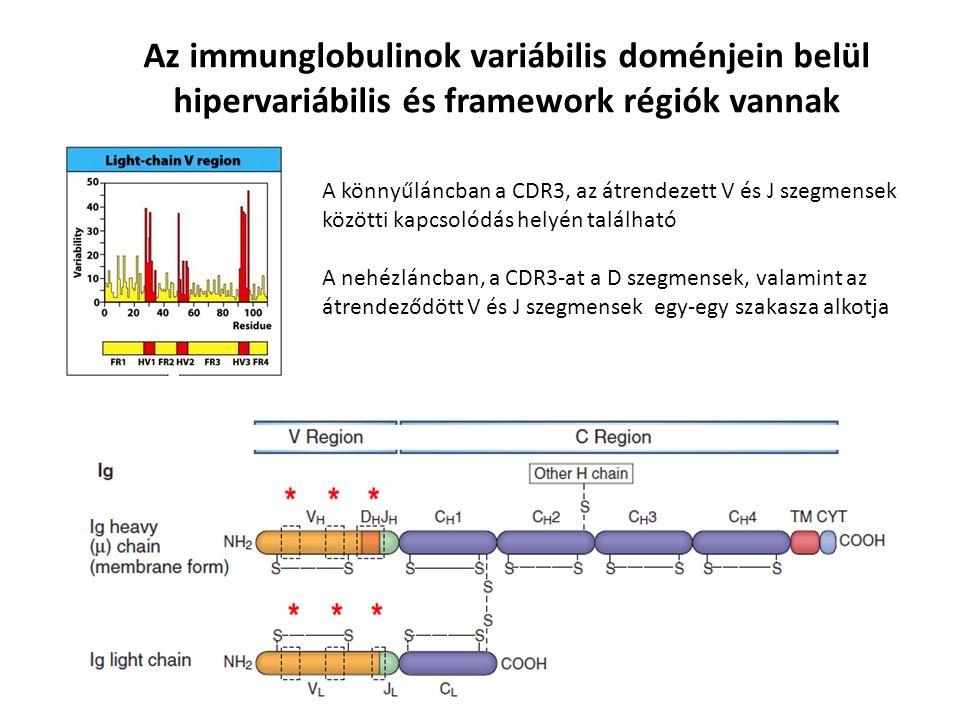 Az immunglobulinok variábilis doménjein belül hipervariábilis és framework régiók vannak A könnyűláncban a CDR3, az átrendezett V és J szegmensek közötti kapcsolódás helyén található A nehézláncban, a CDR3-at a D szegmensek, valamint az átrendeződött V és J szegmensek egy-egy szakasza alkotja