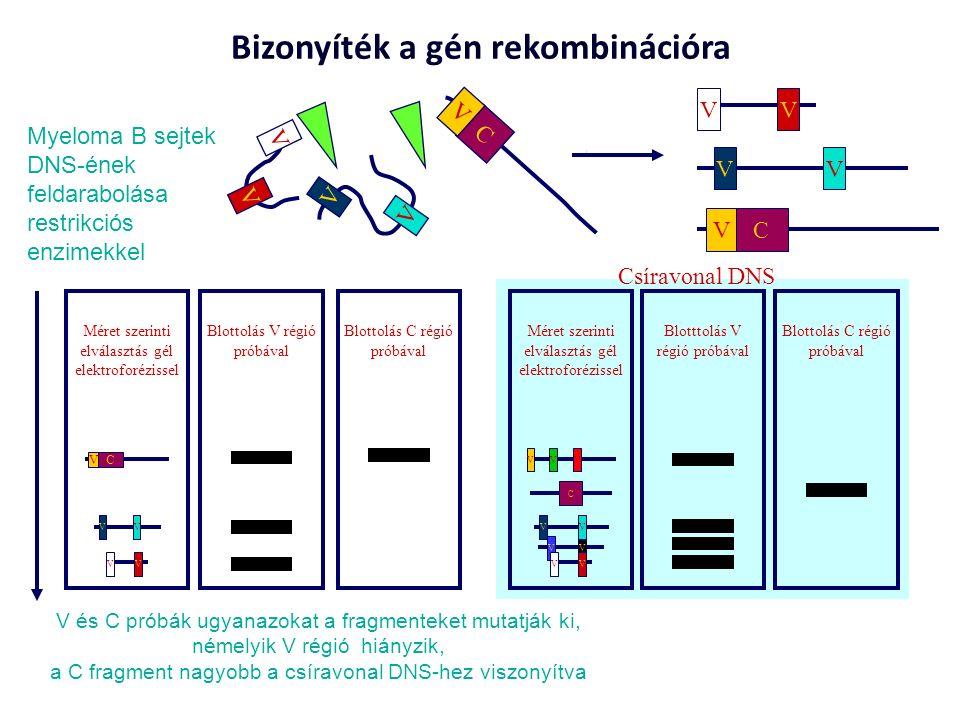 C V V V V V C V V V V V Méret szerinti elválasztás gél elektroforézissel VV VV C V Blottolás V régió próbával Blottolás C régió próbával Myeloma B sejtek DNS-ének feldarabolása restrikciós enzimekkel V és C próbák ugyanazokat a fragmenteket mutatják ki, némelyik V régió hiányzik, a C fragment nagyobb a csíravonal DNS-hez viszonyítva VV VV C V Bizonyíték a gén rekombinációra VVV Blotttolás V régió próbával Blottolás C régió próbával C VV VV VV Méret szerinti elválasztás gél elektroforézissel Csíravonal DNS
