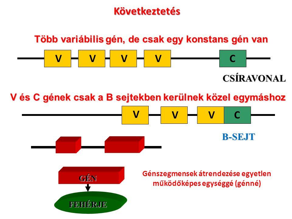 Több variábilis gén, de csak egy konstans gén van VCVVVCSÍRAVONAL V és C gének csak a B sejtekben kerülnek közel egymáshoz C V VV B-SEJT Következtetés FEHÉRJE GÉN Génszegmensek átrendezése egyetlen működőképes egységgé (génné)