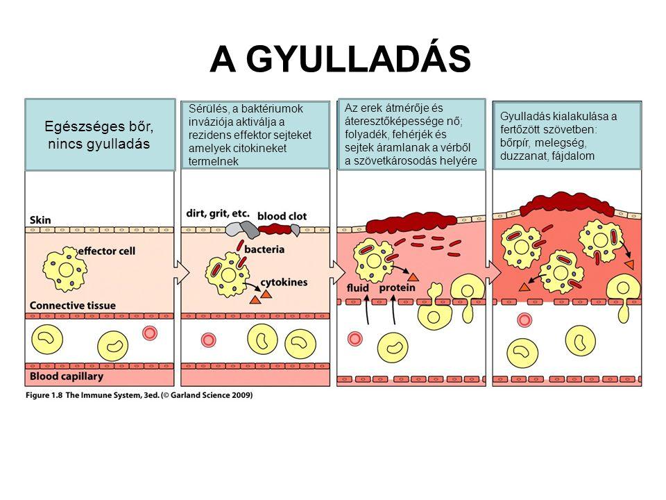 A GYULLADÁS Egészséges bőr, nincs gyulladás Sérülés, a baktériumok inváziója aktiválja a rezidens effektor sejteket amelyek citokineket termelnek Az erek átmérője és áteresztőképessége nő; folyadék, fehérjék és sejtek áramlanak a vérből a szövetkárosodás helyére Gyulladás kialakulása a fertőzött szövetben: bőrpír, melegség, duzzanat, fájdalom
