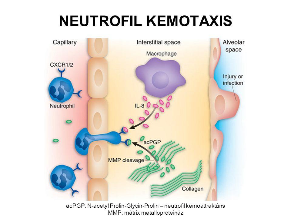 NEUTROFIL KEMOTAXIS acPGP: N-acetyl Prolin-Glycin-Prolin – neutrofil kemoattraktáns MMP: mátrix metalloproteináz