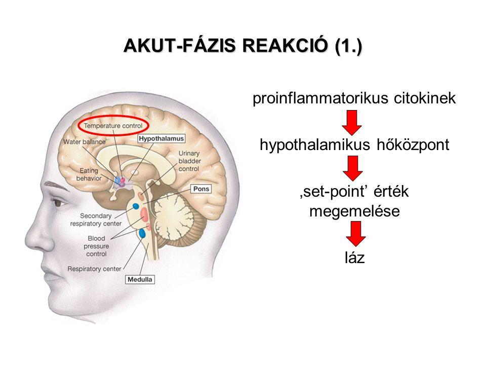 AKUT-FÁZIS REAKCIÓ (1.) proinflammatorikus citokinek hypothalamikus hőközpont 'set-point' érték megemelése láz