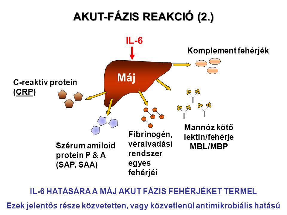 Máj IL-6 Mannóz kötő lektin/fehérje MBL/MBP Fibrinogén, véralvadási rendszer egyes fehérjéi Szérum amiloid protein P & A (SAP, SAA) C-reaktív protein (CRP) AKUT-FÁZIS REAKCIÓ (2.) IL-6 HATÁSÁRA A MÁJ AKUT FÁZIS FEHÉRJÉKET TERMEL Ezek jelentős része közvetetten, vagy közvetlenül antimikrobiális hatású Komplement fehérjék