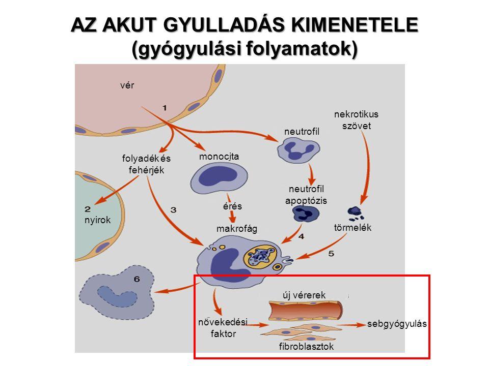 AZ AKUT GYULLADÁS KIMENETELE (gyógyulási folyamatok) nekrotikus szövet neutrofil törmelék fibroblasztok új vérerek monocita érés neutrofil apoptózis vér nyirok sebgyógyulás folyadék és fehérjék makrofág növekedési faktor