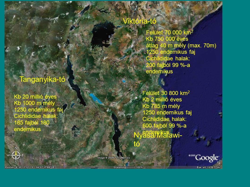 Viktória-tó Tanganyika-tó Nyasa/Malawi- tó Kb 20 millió éves Kb 1000 m mély 1250 endemikus faj Cichlididae halak: 185 fajból 180 endemikus Felület 30