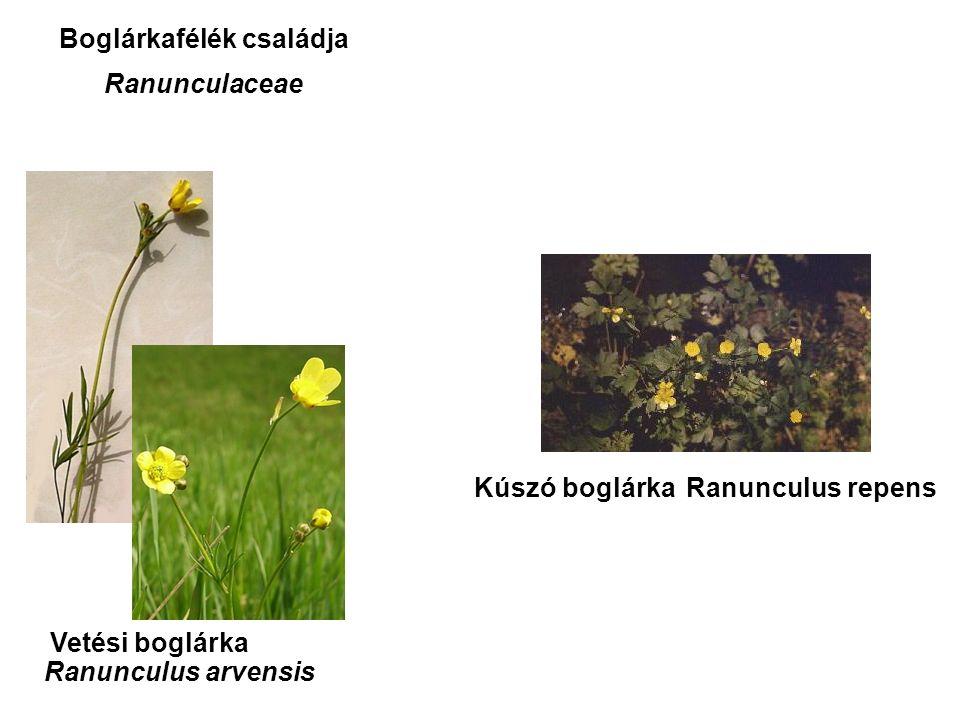 Vetési boglárka Kúszó boglárka Ranunculus arvensis Ranunculus repens Boglárkafélék családja Ranunculaceae