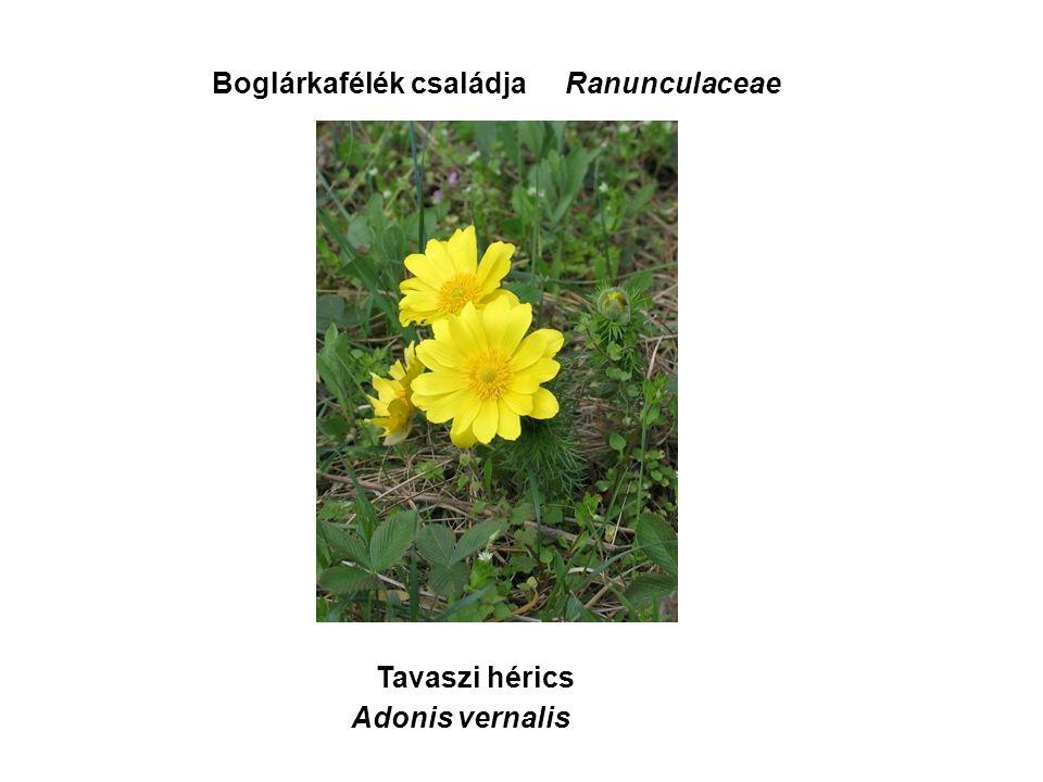 Tavaszi hérics Boglárkafélék családjaRanunculaceae Adonis vernalis