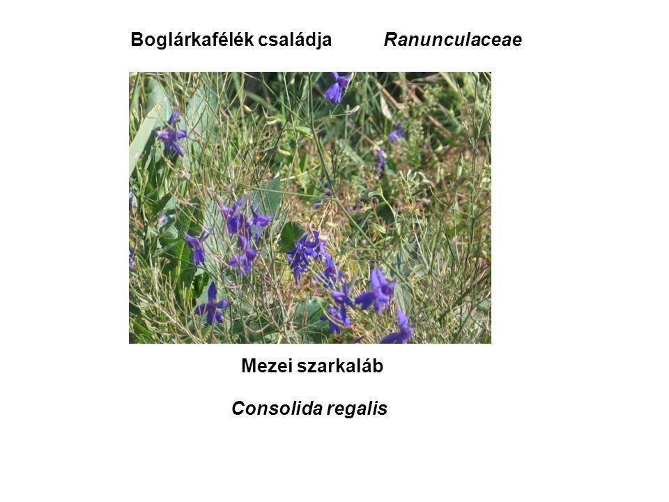 Mezei szarkaláb Consolida regalis Boglárkafélék családjaRanunculaceae