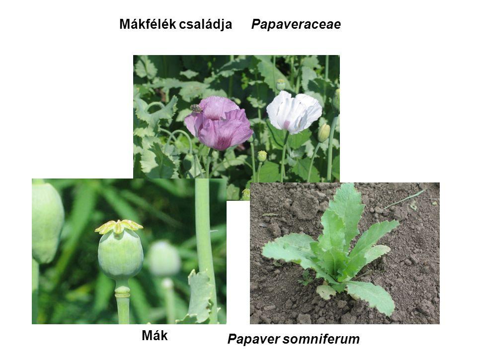 Mák Mákfélék családjaPapaveraceae Papaver somniferum