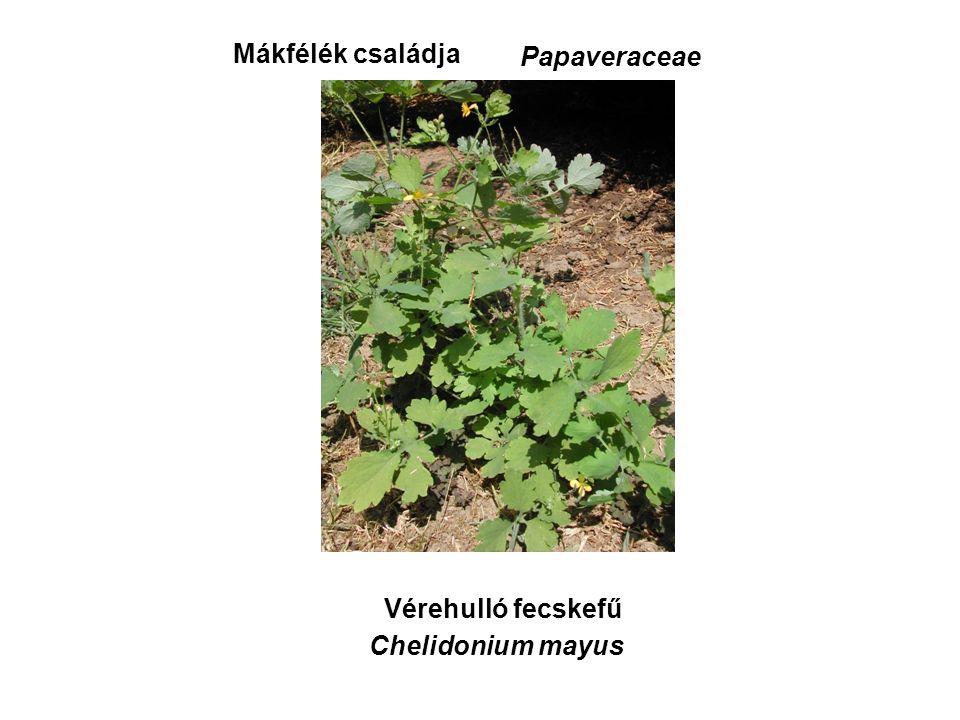 Vérehulló fecskefű Mákfélék családja Papaveraceae Chelidonium mayus