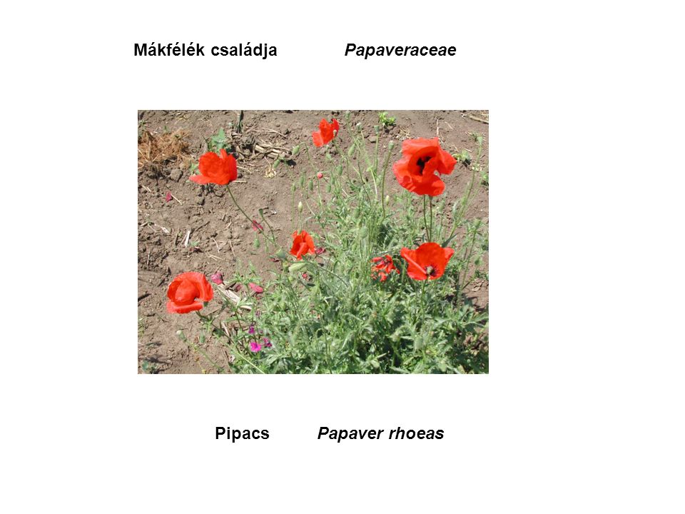 PipacsPapaver rhoeas Mákfélék családjaPapaveraceae