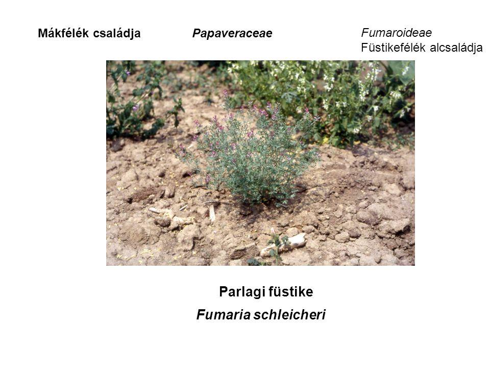 PapaveraceaeMákfélék családja Parlagi füstike Fumaria schleicheri Fumaroideae Füstikefélék alcsaládja