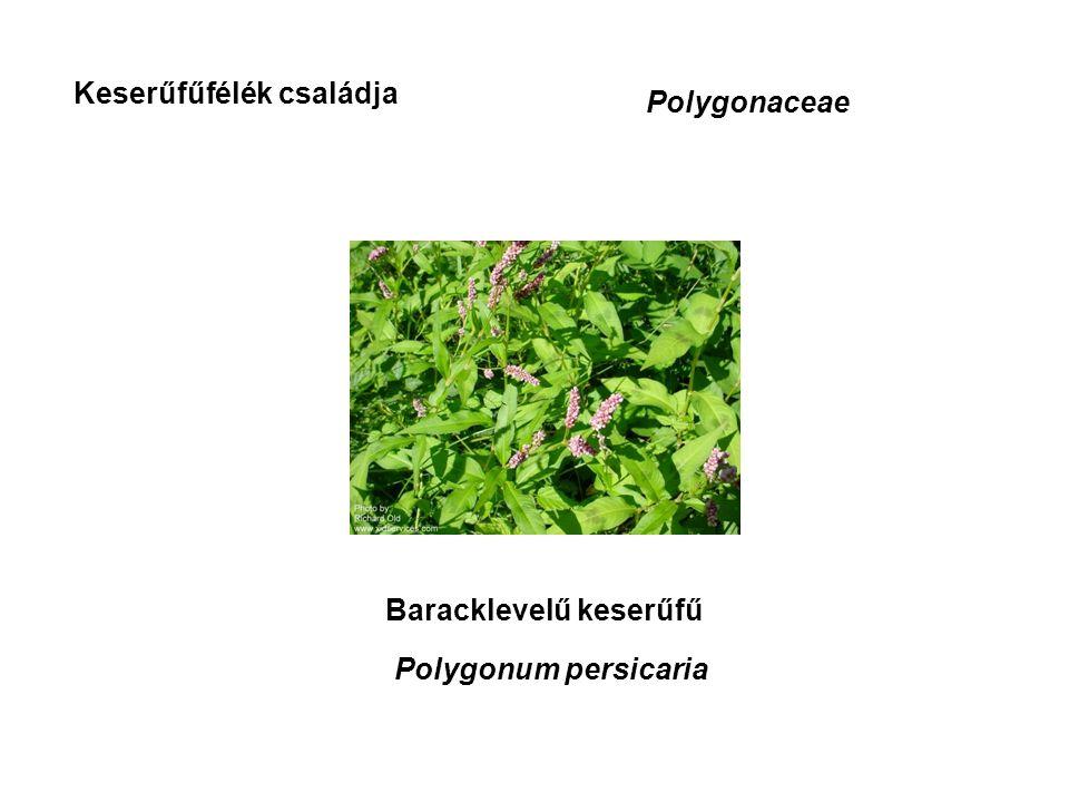 Keserűfűfélék családja Polygonaceae Baracklevelű keserűfű Polygonum persicaria