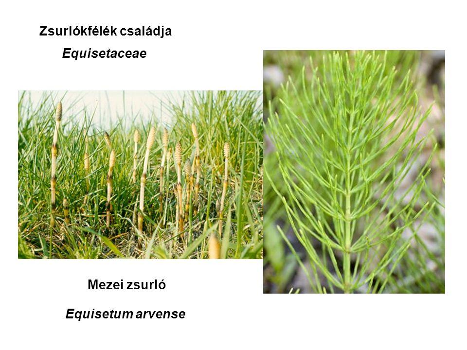 Mezei zsurló Zsurlókfélék családja Equisetaceae Equisetum arvense