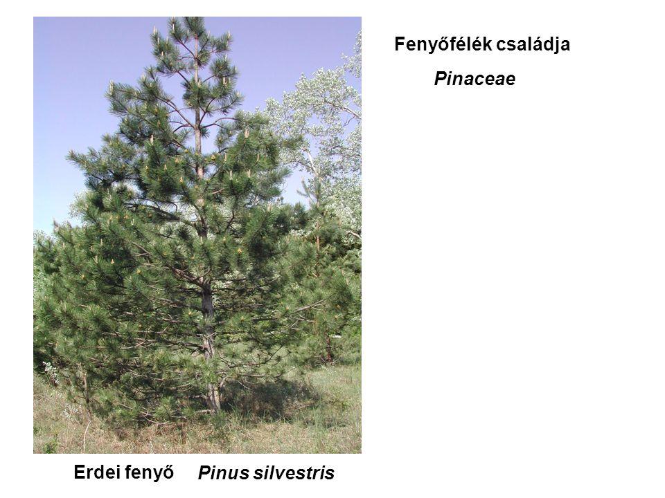 Erdei fenyő Fenyőfélék családja Pinaceae Pinus silvestris
