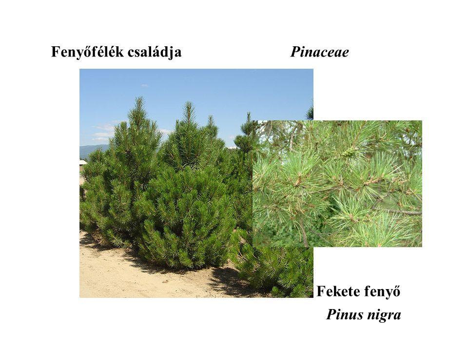 Fekete fenyő Fenyőfélék családjaPinaceae Pinus nigra